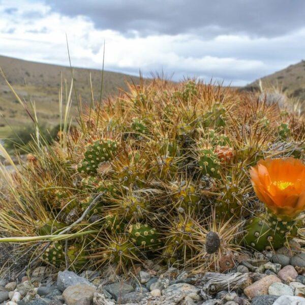 Prickly pear cactus and steppe landscape. La Ascensión. (Credit: Fundación Flora y Fauna Argentina)